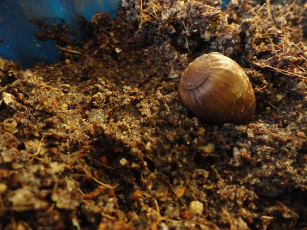 One viable acorn all ready for stratification.
